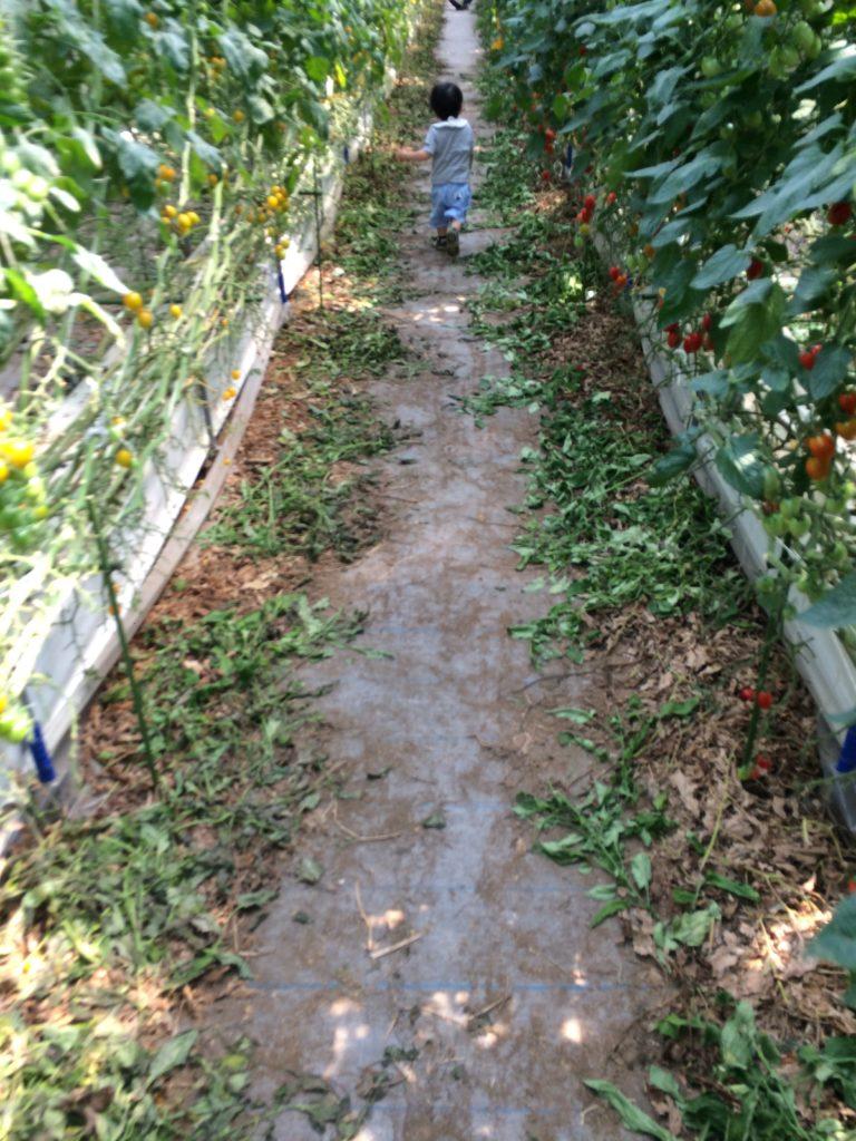 井出トマト農園内