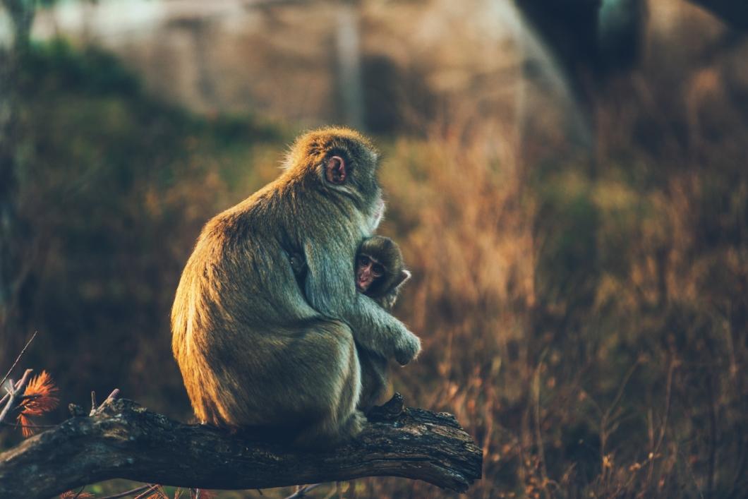 子を護る母猿