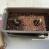 リス園のひまわりの種が萌芽