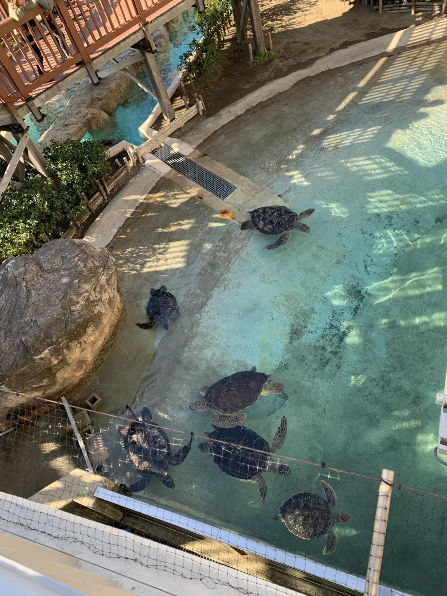 江の島水族館のウミガメ